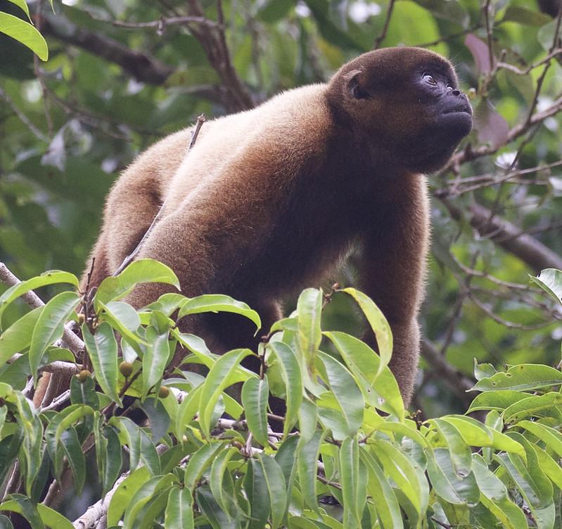 Common Woolly Monkey, Lagothrix lagothricha Ascanio_Peruvian Amazon 199A6198
