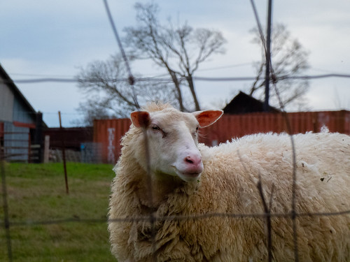 Island Sheep | by TGPerry