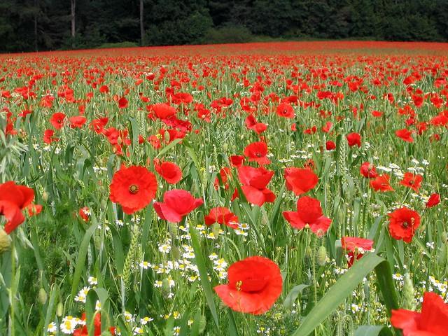 Poppy Field in Shropshire