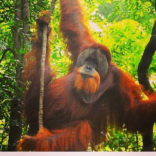 Travel tips 2019 The best place on earth to meet Orangutan in the wild.  Fantastic  2 day and one night jungle trekking tour in sumatra.  Join now for the great jungle experience  Whatsapp: +6282161735162  #jakarta #california #france #germany #thailand # | by Bukit Lawang - Jungle Trekking