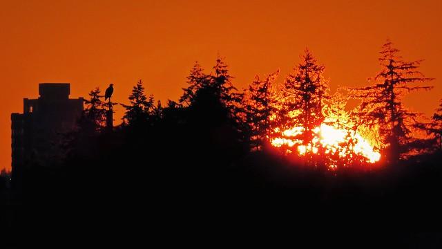 Sunset bald eagle silhouette
