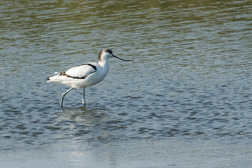 Pied Avocet   by nickathanas