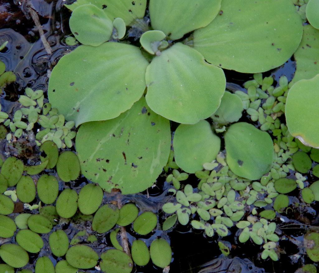 Pistia stratiotes, Salvinia molesta and Lemna aequinoctialis, Ross River, Townsville, QLD, 02/01/19
