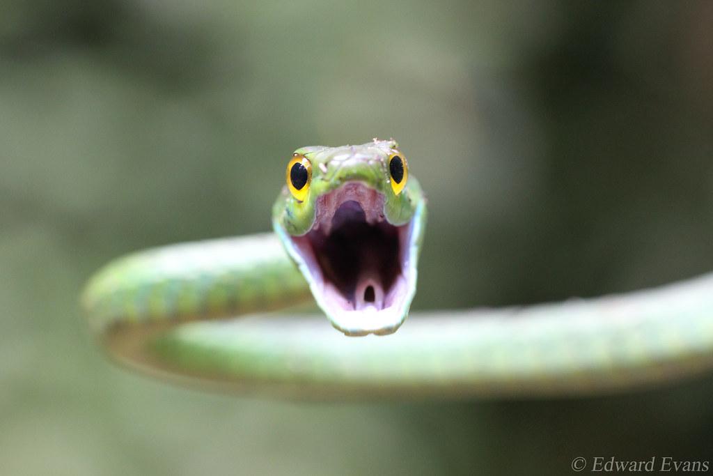 Parrot snake (Leptophis ahaetulla) defensive display