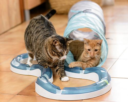 Efrén, gatito blanquipardo súper dulce positivo a inmuno nacido en Septiembre´17, en ADOPCIÓN ESPECIAL. Valencia. 31281744537_1dd4e73c95