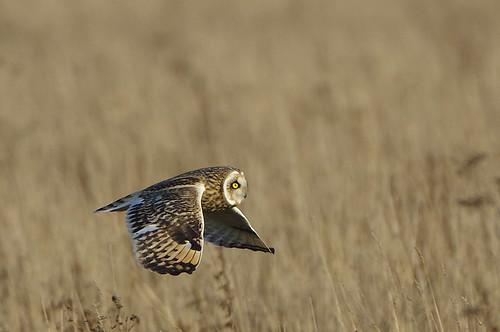 burwellfen cambridgeshire nationaltrust wild bird wildlife nature shorteared owl asioflammeus hunting flight