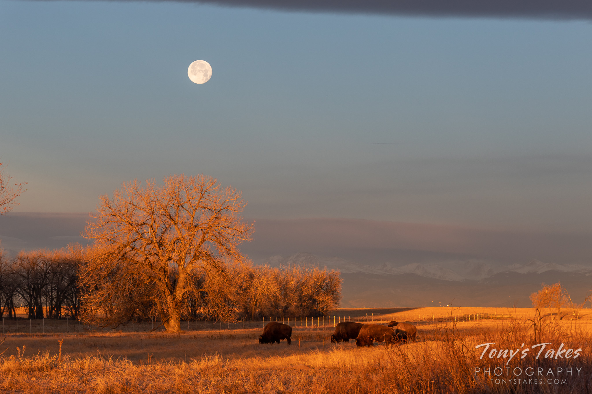 Bison graze under the setting Full Cold Moon on the Colorado plains. (© Tony's Takes)