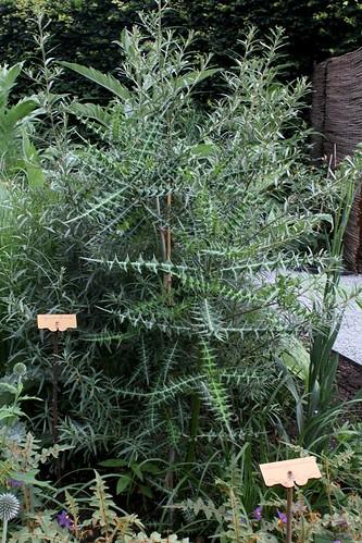 Acanthus arboreus - acanthe arborescente 32668481588_7b3c008d9b