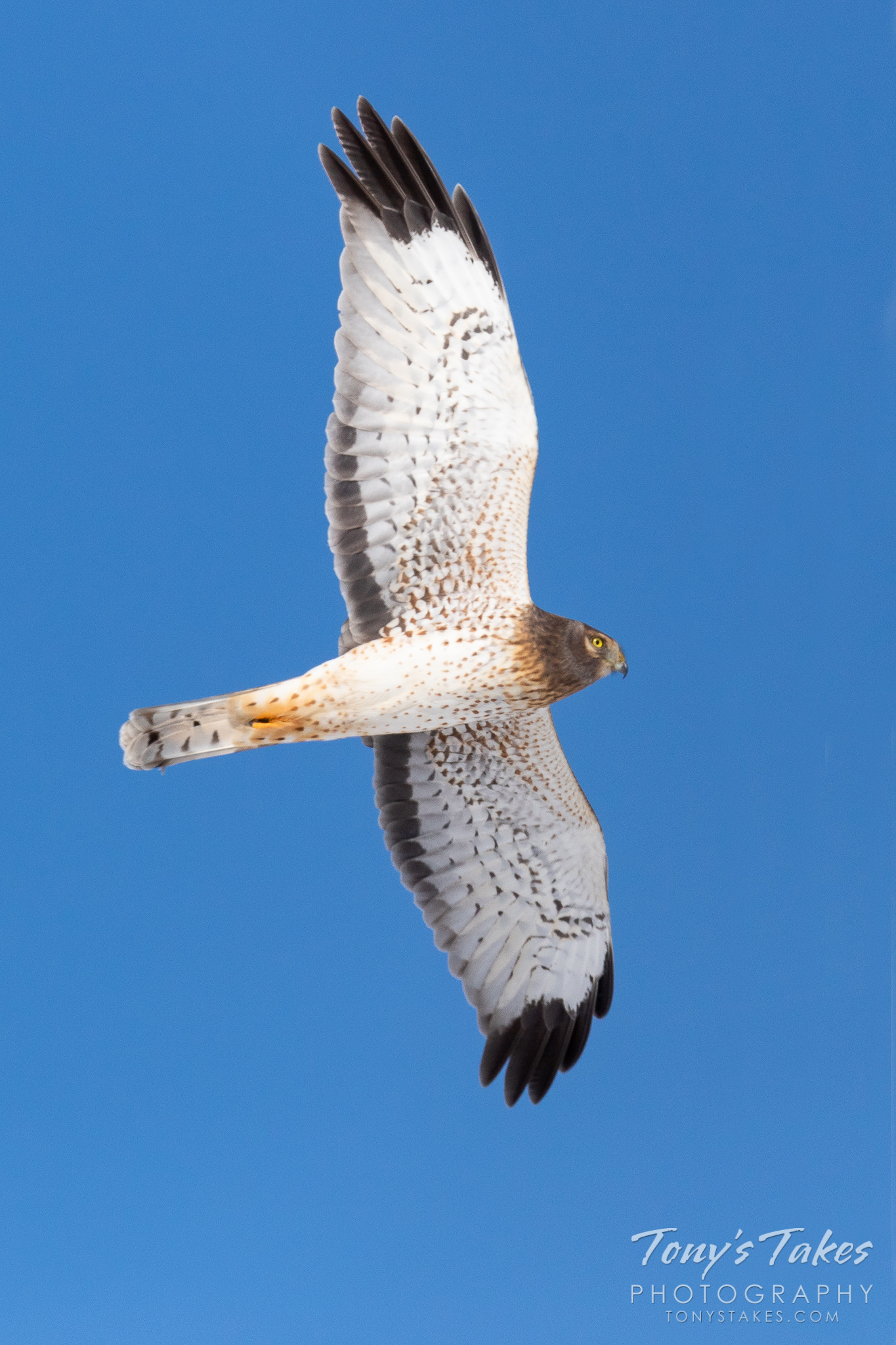 A young male Northern Harrier performs a flyby in Adams County, Colorado. (© Tony's Takes)