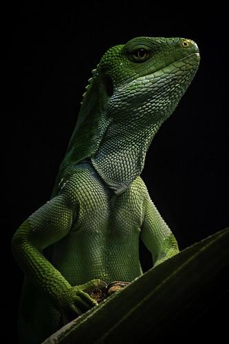 Fijian Banded Iguana | by PACsWorld