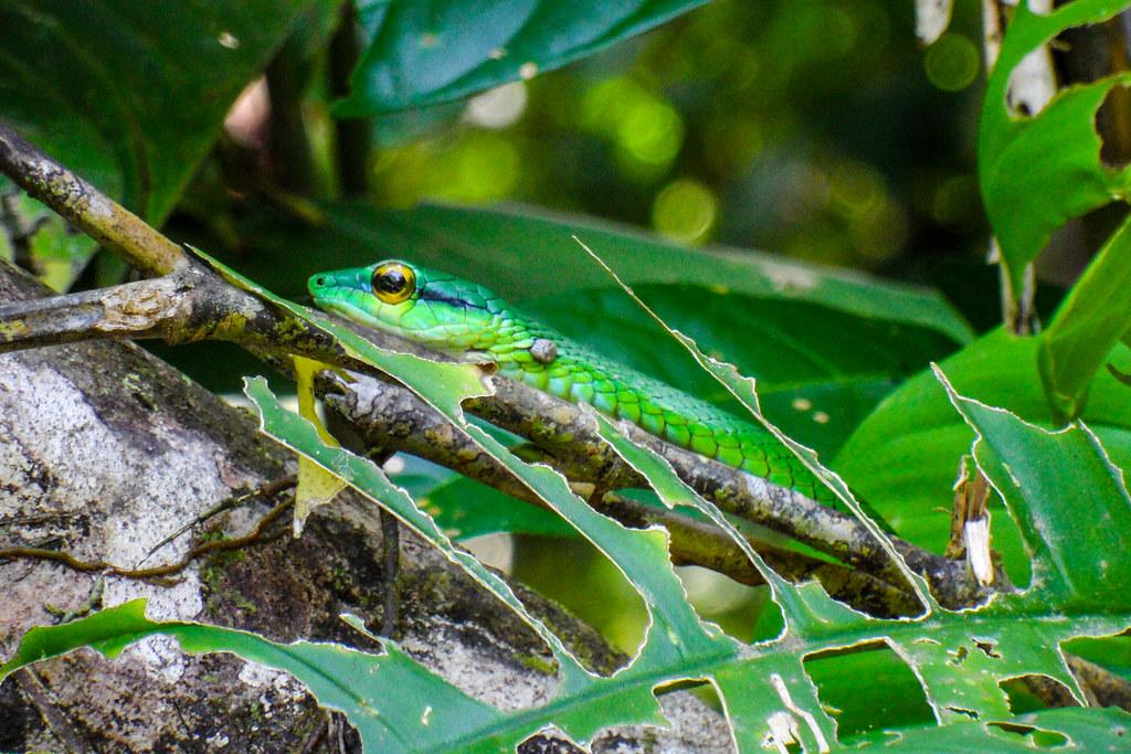 2011-09-09 (58) Eine Duennschlange (Leptophis ahaetulla) im Nationalpark Tortuguero (Costa Rica)