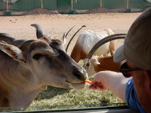 Al Ain Zoo - safari - 1