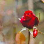 December Red Rose Bokeh - Tarbek - Schleswig-Holstein - Germany