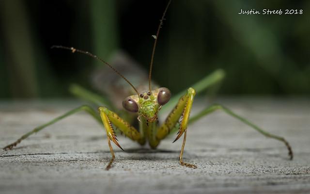 Cool Green Mantis 2
