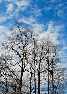 Winter Trees in Rockville, MD