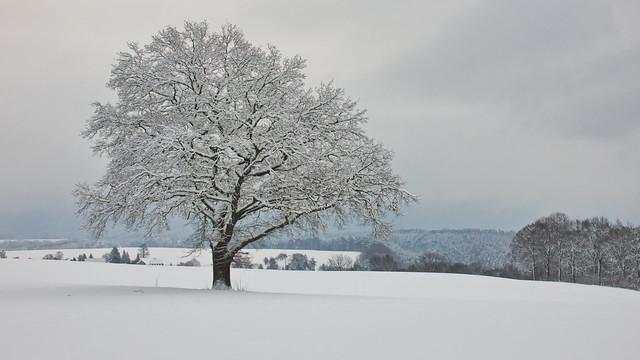 the famous oak in the Saxon Switzerland. (inExplore)