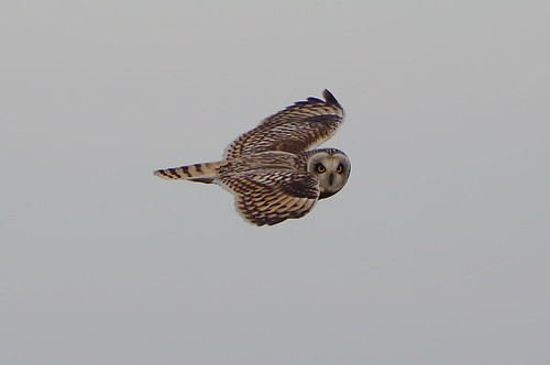 shorteared owl asioflammeus flight bird burwell fen cambridgeshire hunting