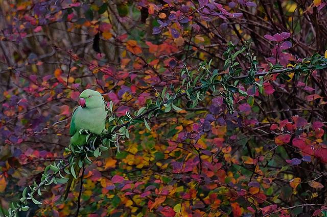 Parakeet in november