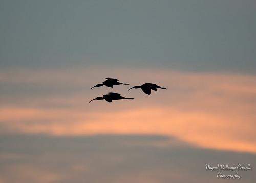 Ocells de Mallorca