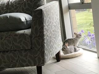 Window Bunnies