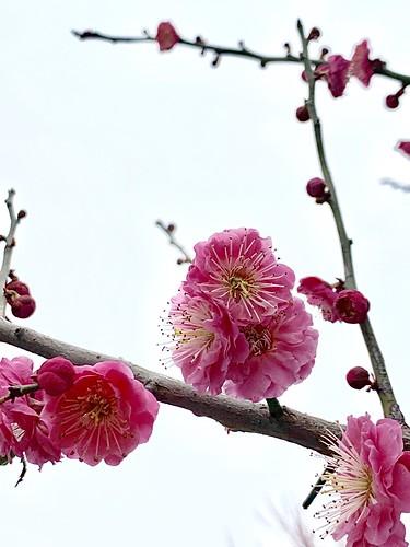 changzhou jiangsu china orientalbloom hongmei