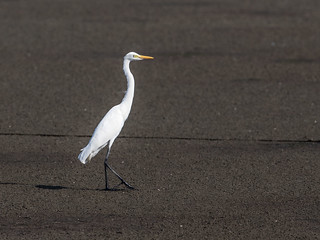 Intermediate Egret | by nickathanas