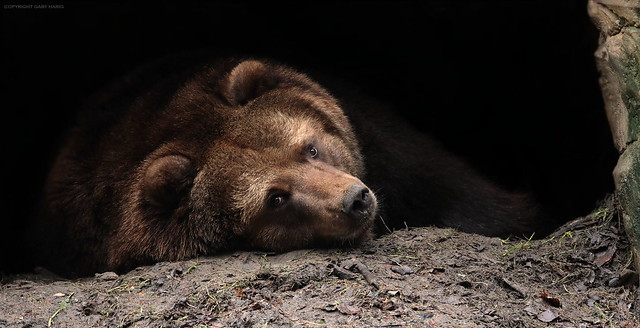 bear in the cave