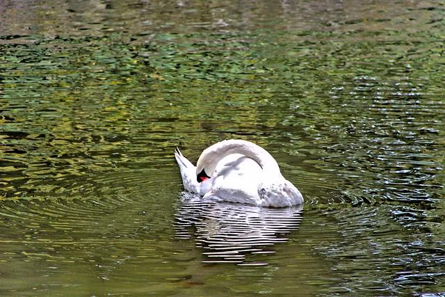 Stratford Ontario ~ Canada ~ Victoria Lake ~ Avon River Swan