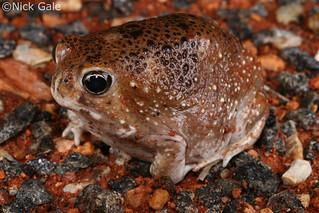 Desert Spadefoot Toad (Notaden nichollsi) | by Nick Gale