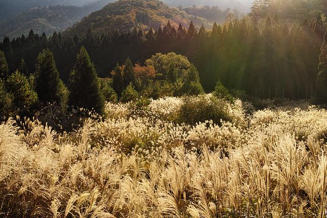 Japanese pampas grass field.