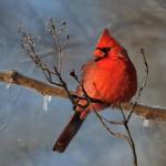 Cardinal   (edit)   ...........