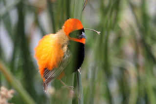 Southern red bishop | by dmmaus