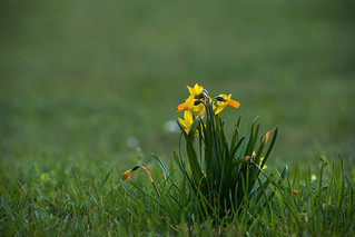 Narcissus | by Photo-Sorko
