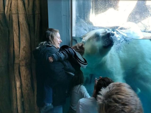 St. Louis Zoo - Polar Bear