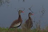 Black-bellied Whistling-Duck by sr667