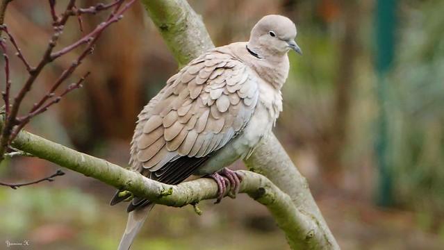 Pigeon - 6365