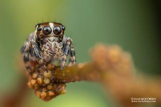 Jumping spider (cf. Pancorius sp.) - DSC_7706