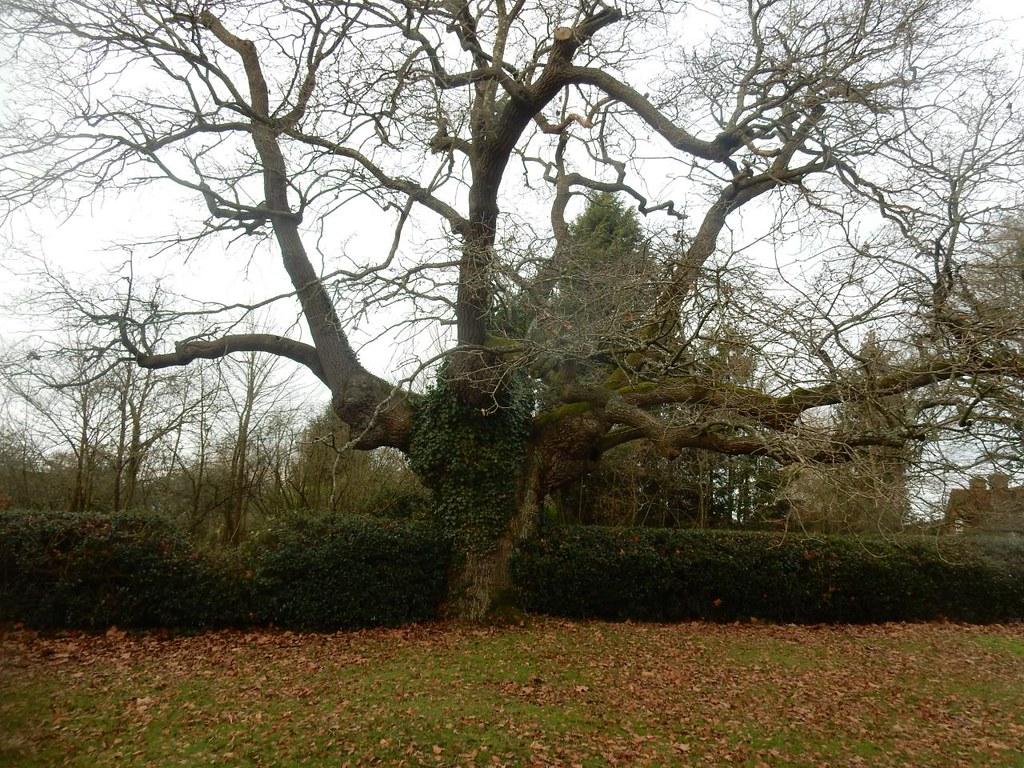 Big tree Holmwood to Reigate