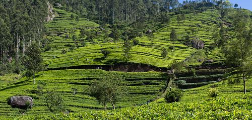 dambatenna dambatennateaestate srilanka srilankashillcountry green highlands landscape panorama tea teaestate teapicker teaplantation worker uvaprovince lk