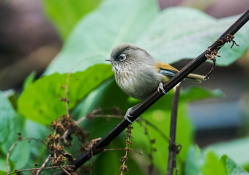 Taiwan Fulvetta | by nickathanas
