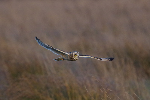asioflammeus shortearedowl burwell cambridgeshire bird flight wild nature hunting