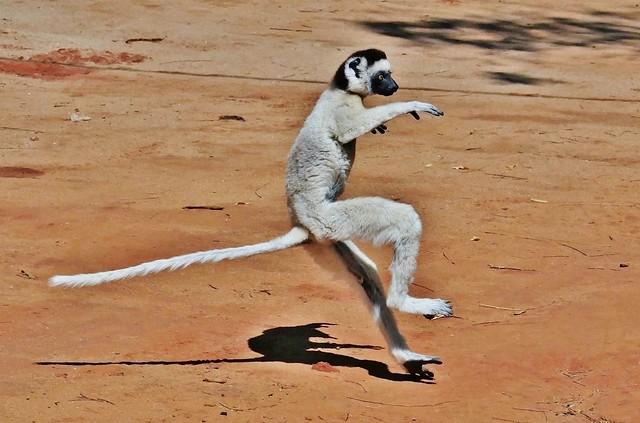 Madasgascar Lemur Leaping Into 2019 ,Verreaux's Sifaka (Propithecus verreauxi)