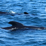 Long-finned pilot whale 1 with partner