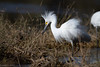 Snowy Egret by mathurinmalby