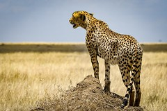 Gepard in Serengeti National Park-Tanzania