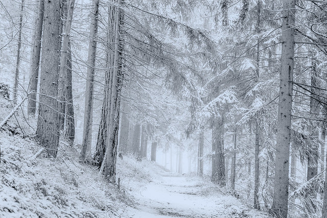 Winter in the pine forests