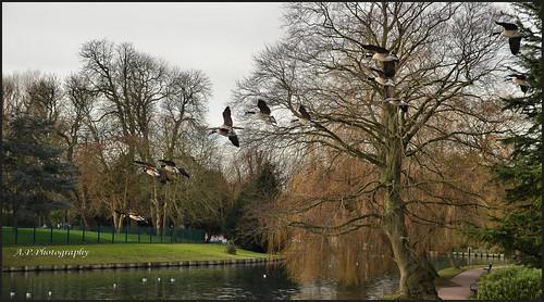 canadageese birds wildlife flight flying sky trees water lake beddingtonpark surrey