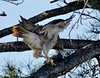 Red-tailed Hawk,  Buteo jamaicensis by barbmerrill2
