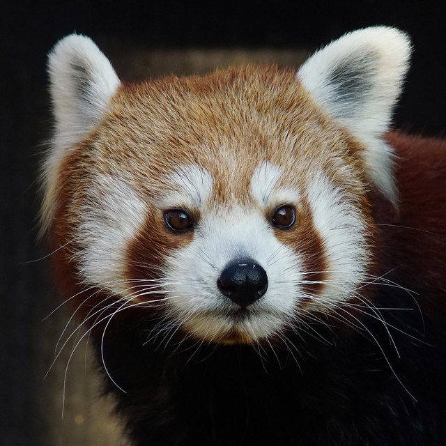 Tg Nbg        Portrait  Red Panda        181228