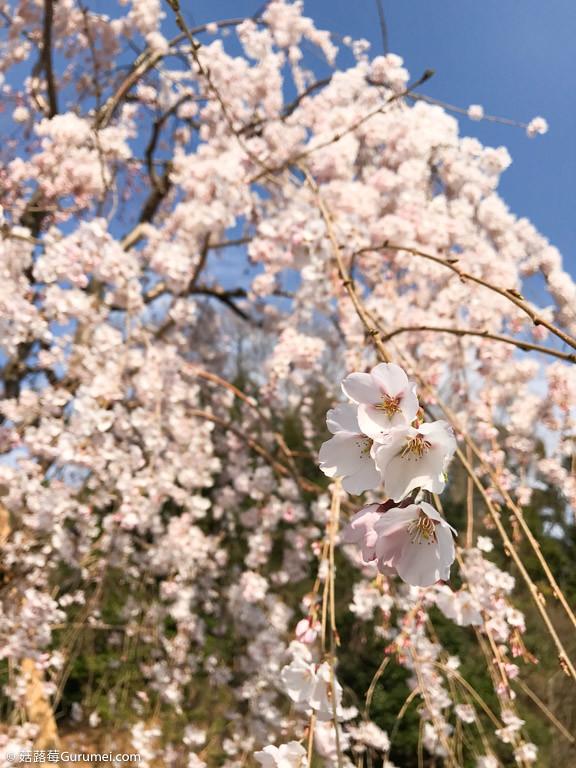 打工度假-京都生活-賞花、野餐-055